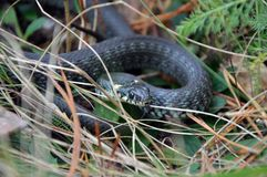 Serpent d'herbe en nature sauvage Photos stock