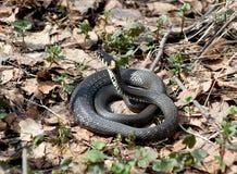 Serpent d'herbe (natrix de Natrix) en premier ressort de forêt image stock