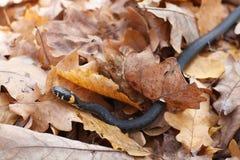 Serpent d'herbe pendant l'automne Photos libres de droits