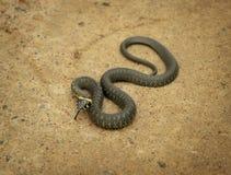 Serpent d'herbe tordu Image libre de droits