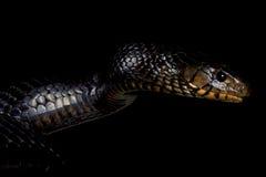 Serpent d'indigo oriental (couperi de Drymarchon) photo libre de droits