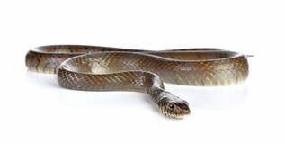 Serpent d'isolement sur le blanc photographie stock libre de droits
