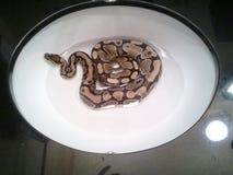 Serpent dans l'évier photo stock