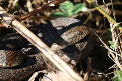 Serpent dans l'herbe Photographie stock libre de droits