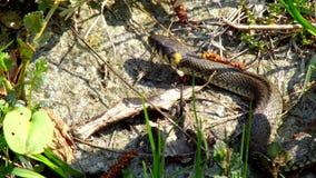Serpent dans l'herbe banque de vidéos