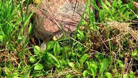Serpent dans l'herbe clips vidéos