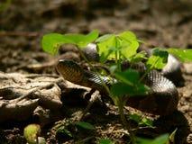 Serpent dans l'herbe Image stock