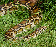 Serpent dans l'herbe Photos libres de droits