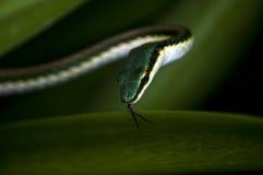 Serpent dans l'herbe aux ruines de Tulum, Mexique Image libre de droits