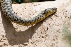 Serpent dans la nature Photo libre de droits