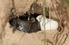 Serpent dans un trou photo stock