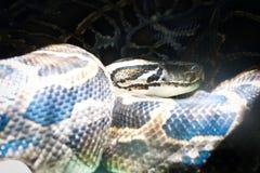 Serpent de boa détendant entre la lumière et l'ombre images stock