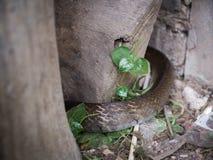 Serpent de Brown rampant pour trouver la nourriture image stock