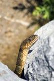 Serpent de Brown sur des roches Photos stock