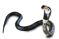 Serpent de cobra d'isolement sur l'au sol de dos de blanc Photo libre de droits