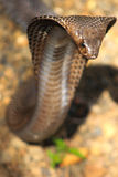 Serpent de cobra dans l'Inde Photos stock