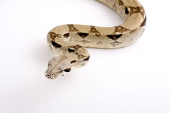 Serpent de constricteur de boa Image stock