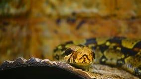 Serpent de constricteur de boa clips vidéos