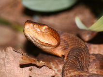 Serpent de Copperhead (contortrix d'Agkistrodon) Photos libres de droits