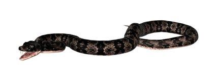 Serpent de Cottonmouth sur le blanc Image stock