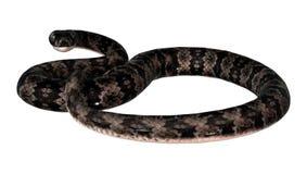 Serpent de Cottonmouth sur le blanc Photographie stock