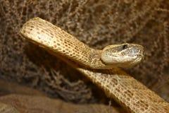 Serpent de ferraillement Image libre de droits