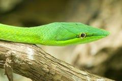 Serpent de fouet asiatique, serpent de fouet oriental, serpent de vigne au nez long, GR Photographie stock libre de droits