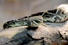 Serpent de hochet Photo libre de droits