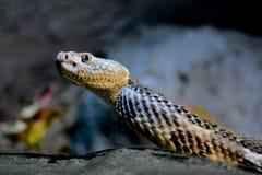 Serpent de hochet Photographie stock