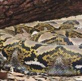 Serpent de hochet Images libres de droits