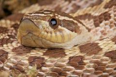 Serpent de Hognose Image libre de droits