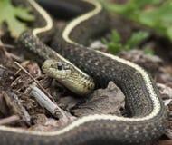 Serpent de jardin Image libre de droits