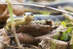 Serpent de jarretière Photographie stock