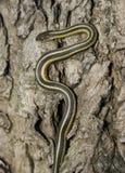 Serpent de jarretière Photo stock