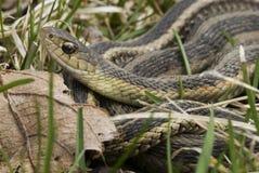 Serpent de jarretière commune Photos libres de droits