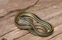 Serpent de jarretière commune Images libres de droits