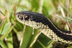 Serpent de jarretière commune Photo libre de droits
