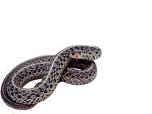 Serpent de jarretière d'isolement Photographie stock