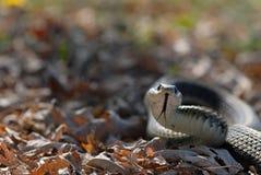 Serpent de jarretière dans l'herbe Photo stock