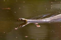 Serpent de jarretière de natation Photographie stock