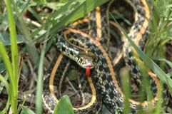 Serpent de jarretière occidental de plaines Photographie stock libre de droits