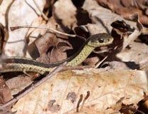 Serpent de jarretière orienté photographie stock
