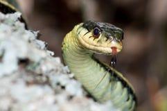 Serpent de jarretière oriental Photo libre de droits
