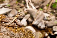 Serpent de jarretière oriental Images libres de droits