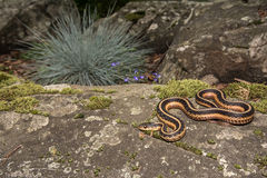 Serpent de jarretière oriental (sauritus de Thamnophis) photographie stock libre de droits