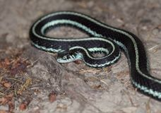 Serpent de jarretière de Puget Sound Photographie stock libre de droits