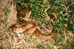Serpent de Kukri Photographie stock libre de droits