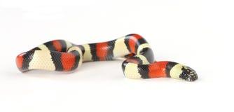 serpent de lait Photo libre de droits