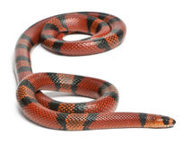 Serpent de lait hondurien de mandarine, Lampropeltis photo stock