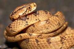 Serpent de lingot-consommation de Taiwan Photographie stock libre de droits